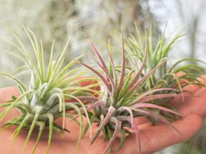 Air plants for the office.