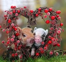 mini pigs love